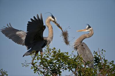 Florida, Venice, Great Blue Heron, Courting Stick Transfer Ceremony-Bernard Friel-Photographic Print