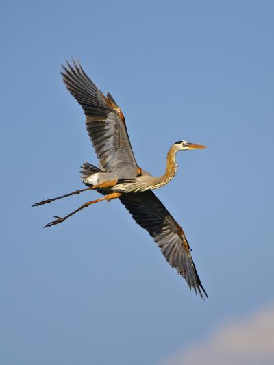 Florida, Venice, Great Blue Heron Flying Wings Wide Blue Sky-Bernard Friel-Photographic Print