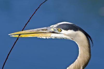 Florida, Venice, Great Blue Heron Holding Nest Material in Beak-Bernard Friel-Photographic Print