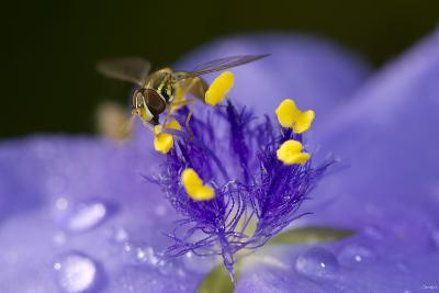 Flower and Bee-Gordon Semmens-Photographic Print