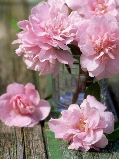 Flower Arrangement of Pale Pink Camellia Flowers in Glass Vase on Rustic Table-James Guilliam-Photographic Print