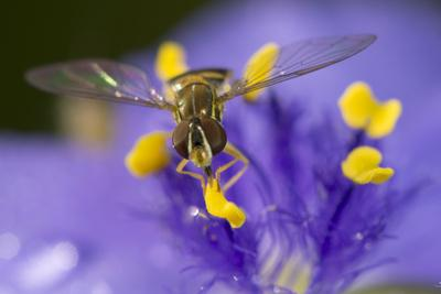 Flower, Bee-Gordon Semmens-Photographic Print