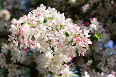 Flower-Covered Branches of a Tea Crabapple Tree, Malus Hupenhensis-Darlyne A^ Murawski-Photographic Print