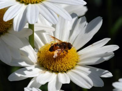 Flower Fly Drinking Nectar from a Daisy, Belmont, Massachusetts, USA-Darlyne A^ Murawski-Photographic Print