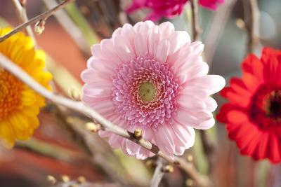 Flower, Gerbera, Blossom-Nikky Maier-Photographic Print