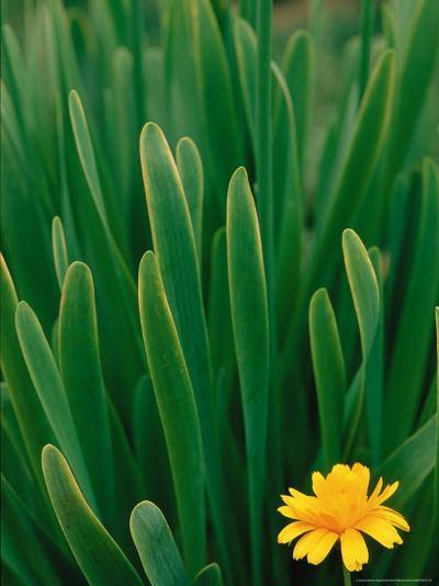 Flower Groundsel, Alaska, USA-Dee Ann Pederson-Photographic Print