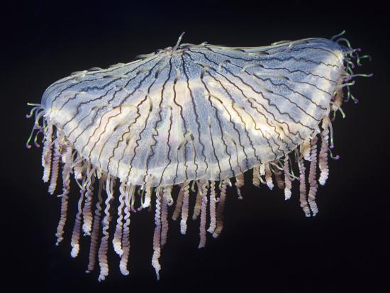 Flower Hat Jelly (Olindias Formosa), Sea of Japan-Ken Lucas-Photographic Print