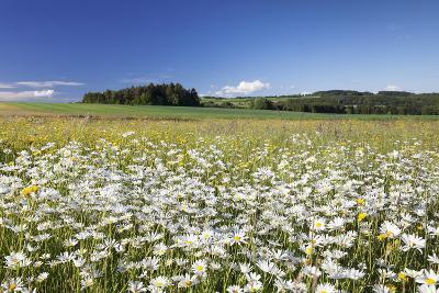 Flower Meadow with Marguerites (Leucanthemum Vulgare), Baden Wurttemberg, Germany, Europe-Markus Lange-Photographic Print