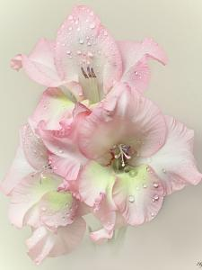 Gladiola Flower with Rain Drops by Flower photography by Viorica Maghetiu