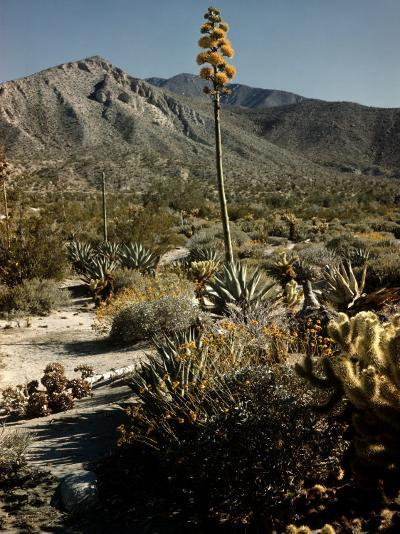 Flowering Agave Plant Sprouting During the Spring in the Sonoran Desert-Andreas Feininger-Photographic Print
