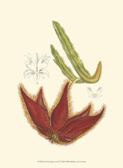 Flowering Cactus IV-Samuel Curtis-Art Print
