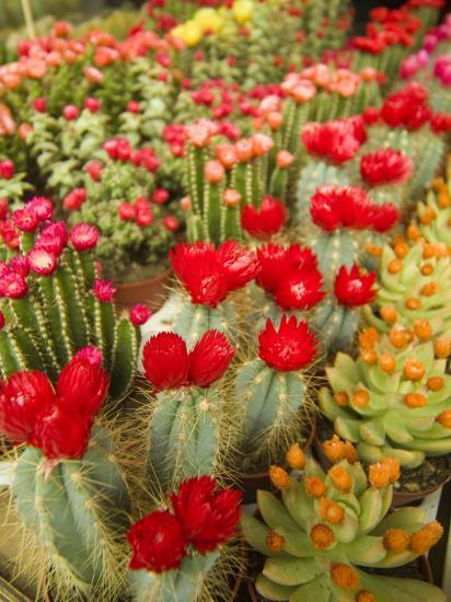flowering cactus plants for sale at a street market. Black Bedroom Furniture Sets. Home Design Ideas