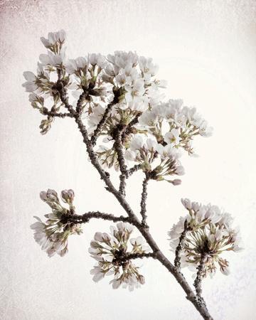 https://imgc.artprintimages.com/img/print/flowering-cherry-ii_u-l-q1aioqc0.jpg?p=0