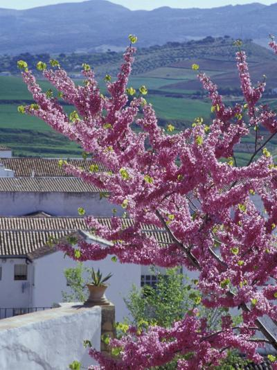 Flowering Cherry Tree and Whitewashed Buildings, Ronda, Spain-John & Lisa Merrill-Photographic Print