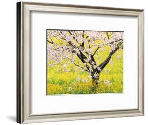 Flowering Cherry Tree in Mustard Field