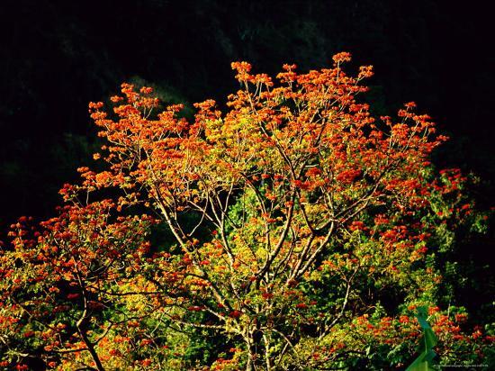 Flowering Cockspur Coral Trees-Tim Laman-Photographic Print
