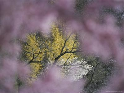 Flowering Forsythia Seen Through a Frame of Cherry Blossoms-Darlyne A^ Murawski-Photographic Print