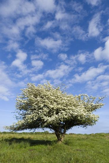 Flowering Hawthorn (Crataegus Monogyna) Tree under Fair Weather Sky, Gower, S.Wales, Uk--Photographic Print