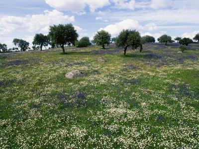 Flowering Meadow with Quercus Ilex, Extremadura, Spain-Olaf Broders-Photographic Print