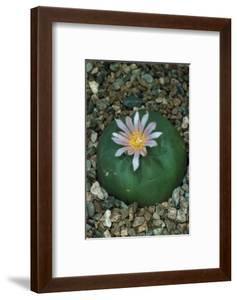 Flowering Mexican peyotl cactus