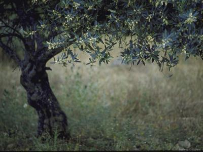 Flowering Olive Tree Growing in a Field-Paul Schutzer-Photographic Print