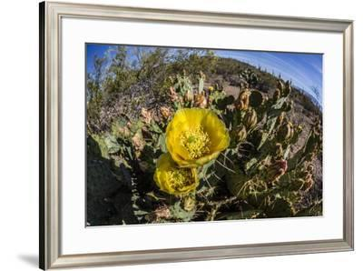 Flowering prickly pear cactus (Opuntia ficus-indica), in the Sweetwater Preserve, Tucson, Arizona,-Michael Nolan-Framed Photographic Print