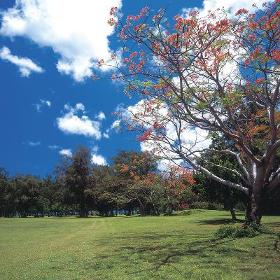 Flowering Trees with Blue Sky and White Clouds--Photographic Print