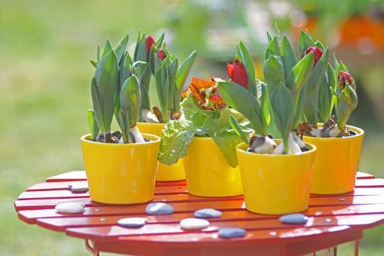 Flowerpots with tulips, red tulip buds of the parrot tulip, Tulipa, close-up-Sandra Gutekunst-Photographic Print