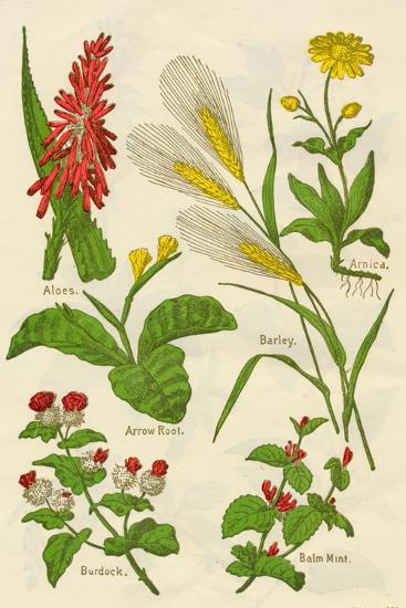 Flowers: Aloes, Arnica, Arrow Root, Barley, Balm Mint, Burdock, c1940-Unknown-Giclee Print