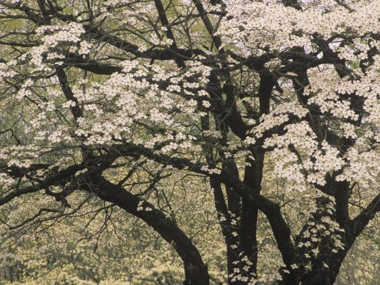 Flowers And Branching Pattern Of A White Dogwood Tree In The Spring