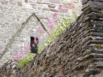 Flowers and Church Ruins, County Waterford, Ireland-William Sutton-Photographic Print