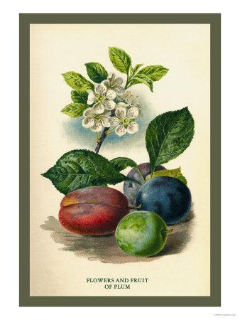 https://imgc.artprintimages.com/img/print/flowers-and-fruit-of-a-plum_u-l-p27vly0.jpg?p=0