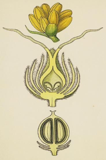 Flowers and Fruit of Balanops Vieillardii--Giclee Print