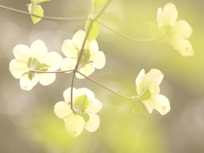 Flowers Bloom on the Pacific Dogwood Tree in Spring-Phil Schermeister-Photographic Print