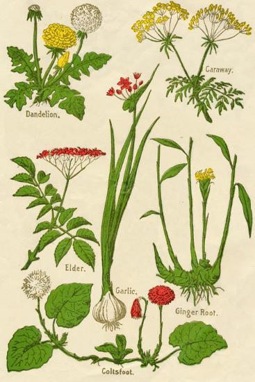 Flowers: Dandelion, Caraway, Elder, Garlic, Coltsfoot, Ginger Root, c1940-Unknown-Giclee Print