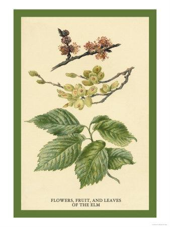 https://imgc.artprintimages.com/img/print/flowers-fruits-and-leaves-of-the-elm_u-l-p27v8d0.jpg?p=0