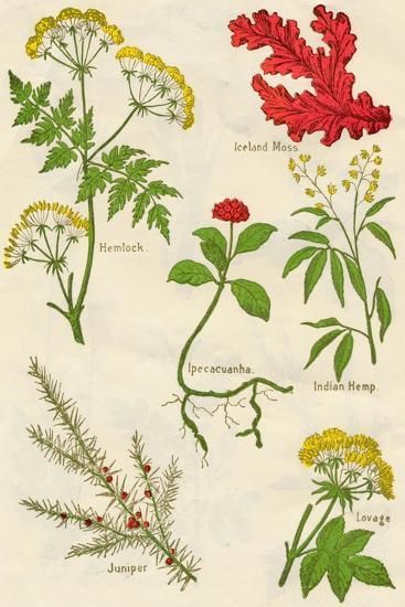 Flowers: Hemlock, Iceland Moss, Ipecacuanha, Indian Hemp, Juniper, Lovage, c1940-Unknown-Giclee Print