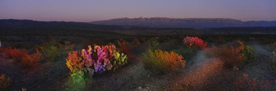 Flowers in a Field, Big Bend National Park, Texas, USA--Photographic Print