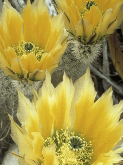 Flowers in Chihuahuan Desert, Big Bend National Park, Texas, USA-Scott T^ Smith-Photographic Print