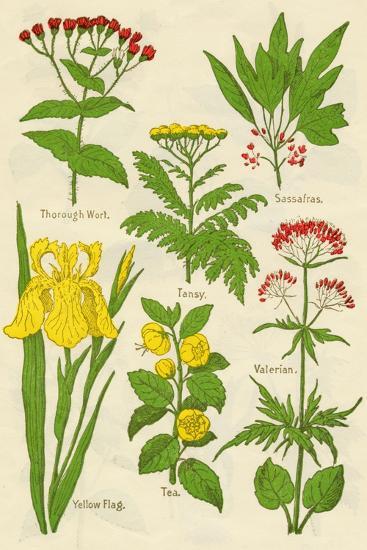 Flowers: Thorough Wort, Tansy, Sassafras, Valerian, Yellow Flag, Tea, Valerian, c1940-Unknown-Giclee Print