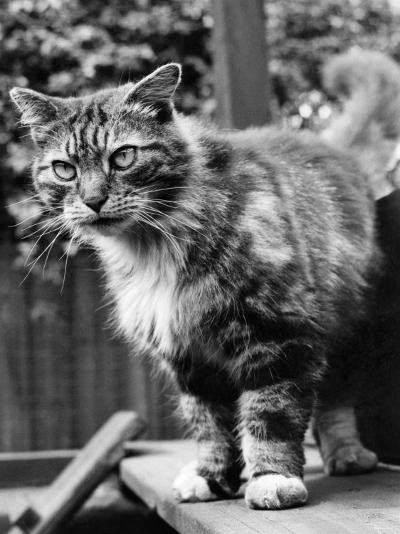 Fluff the Boss Cat at the Battersea Dog's Home, May 1967--Photographic Print