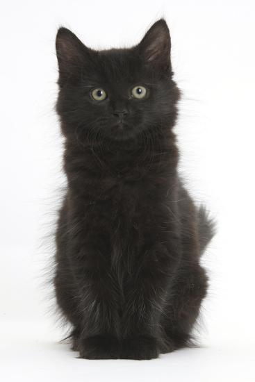 Fluffy Black Kitten, 9 Weeks Old, Sitting-Mark Taylor-Photographic Print