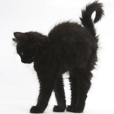Fluffy Black Kitten, 9 Weeks Old, Stretching with Arched Back-Mark Taylor-Photographic Print