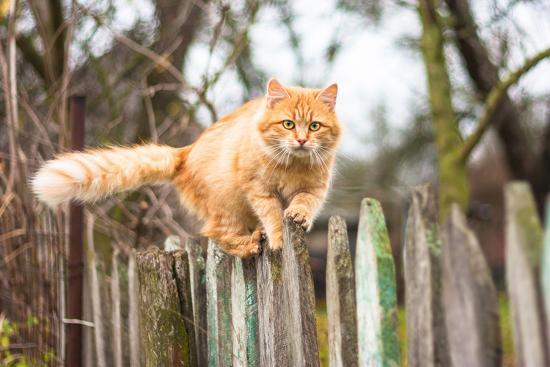 Fluffy Ginger Tabby Cat Walking on Old Wooden Fence-lkoimages-Photographic Print