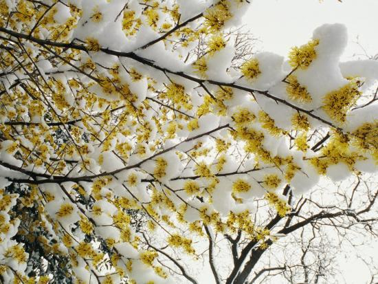 Fluffy Snow Clings to the Yellow Branches of a Flowering Forsythia Bush-Stephen St^ John-Photographic Print