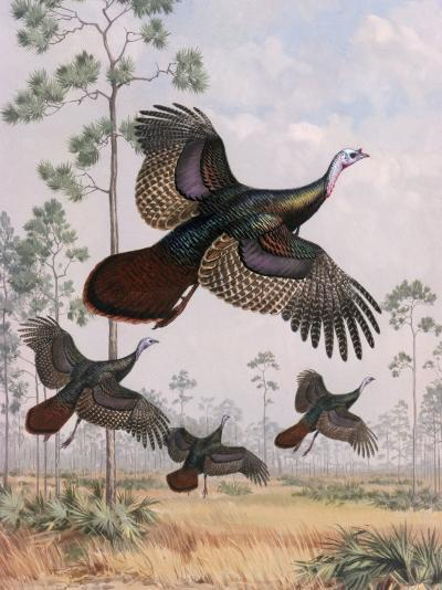Flushed Out of Hiding, Wild Turkeys Take Flight Near Tall Pine Trees-Walter Weber-Photographic Print