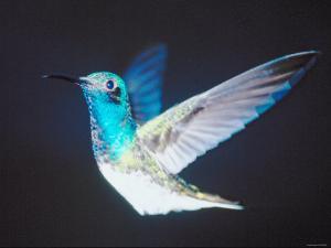 Fluttering Wings of Beautiful Central American Bird in Flight