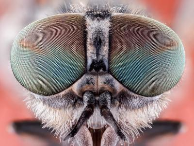Fly Macro Insect Nature Animal Eye Bug close Small Wildlife Head Portrait Color Sharp-MURGVI-Photographic Print