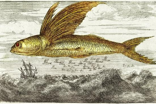 Flying Fish, 17th Century Artwork-Middle Temple Library-Photographic Print