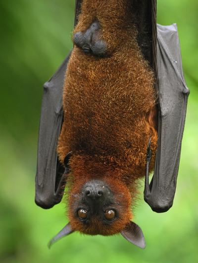 Flying Fox (Pteropus Vampyrus), Malaysia-Thomas Marent-Photographic Print